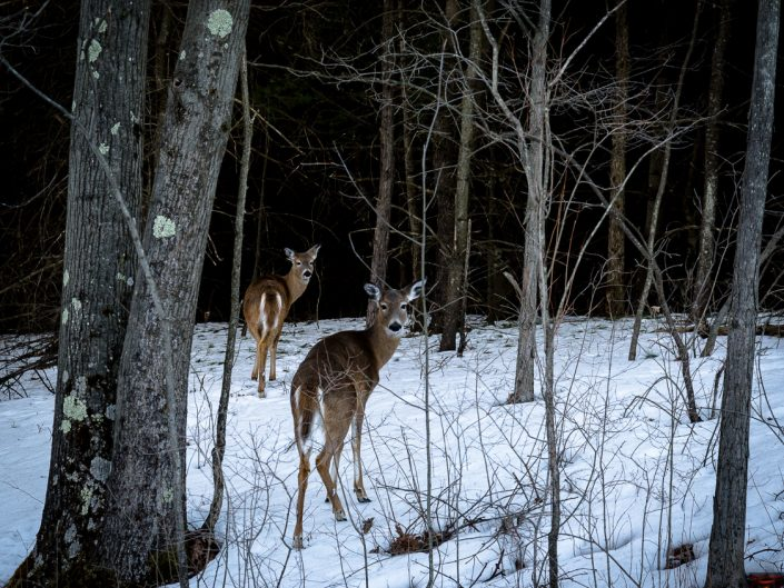 Deer | Deer Walking Through The Woods In the Winter With Snow Photograph by Dave Butterworth | EyeWasHere Playing With A Camera, Upstate NY Landscape Photography