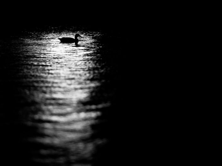 Sitting Duck | Bird Black & White Photography by Dave Butterworth | EyeWasHere Paint it Black | Eye Was Here Photography